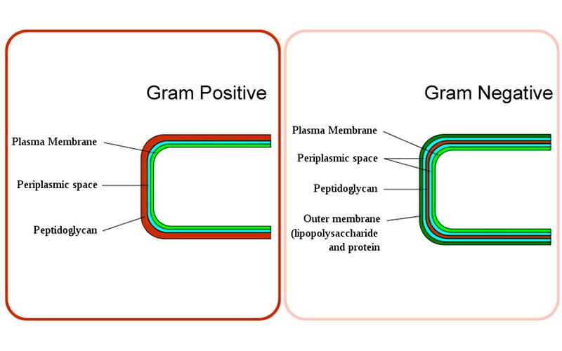 Bacterias Gram-positivas y BiCidal.